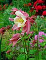Pink and white Columbine.jpg