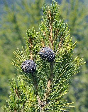 Pinus cembra - Cones of Pinus cembra