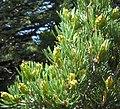Pinus edulis pollencones2.jpg