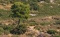 Pinus halepensis, Montagne de la Gardiole, Frontignan.jpg