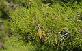 Pinus halepensis cone, Sète, Hérault 01.jpg