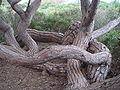 Pinus pinea po.JPG