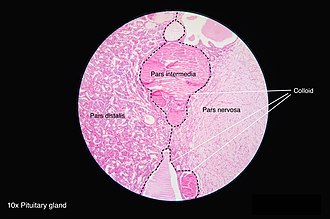 Pars intermedia - Pars intermedia is seen between pars distalis and pars nervosa.