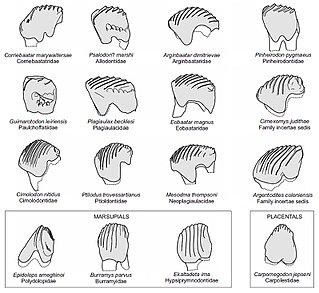 Plagiaulacoid Mammalian tooth