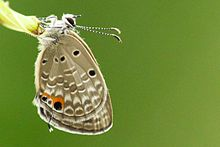 Plains Cupid (Chilades pandava) 07 Butterfly (2016.07.09).jpg