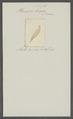 Planaria strigata - - Print - Iconographia Zoologica - Special Collections University of Amsterdam - UBAINV0274 105 09 0013.tif