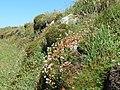 Planhigion Carreg y Barcud, Trelerw, ger Tyddewi - near St David's, Pembrokeshire, Wales 05.jpg
