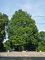 Platane Am Tierpark 2014-6 Berlin-Frf 1476-1356-120.jpg