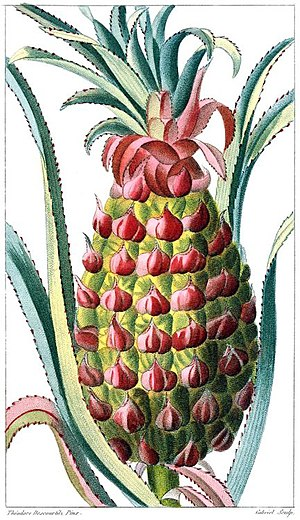 Plate of a pineapple from Descourtiz, 1877 One of a series of plates drawn by Jean-Théodore Descourtilz (1777-1835) and used in his son's 1821 book on the flora of the Antilles