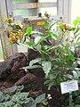 Pleuropetalum darwinii - Berlin Botanical Garden - IMG 8697.JPG