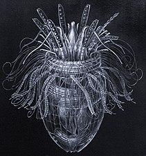 Pliciloricus enigmatus