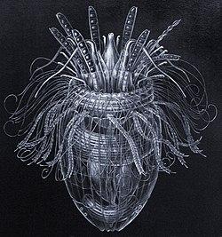 250px-Pliciloricus_enigmatus.jpg