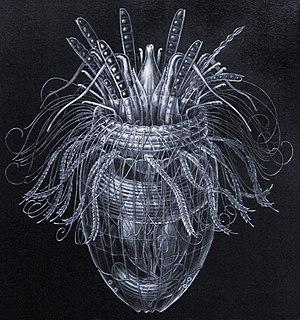 Loricifera - Pliciloricus enigmaticus