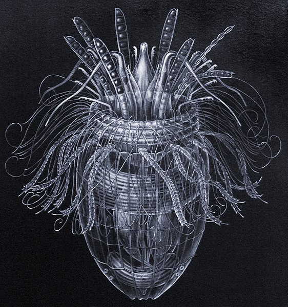 Ficheiro:Pliciloricus enigmatus.jpg