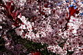 Plum-tree-flowers-blooms - West Virginia - ForestWander.jpg