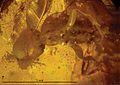 Plumalexius ZooKeys-130-515-g002c.jpg