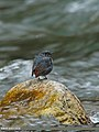 Plumbeous Water Redstart (Rhyacornis fuliginosa) (15869998036).jpg