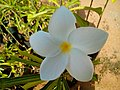 Plumeria frangipani 1.jpg