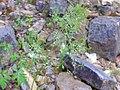 Poa bulbosa Planta 2011-4-21 SierraMadrona.jpg
