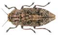 Poecilonota variolosa (Paykull, 1799).png