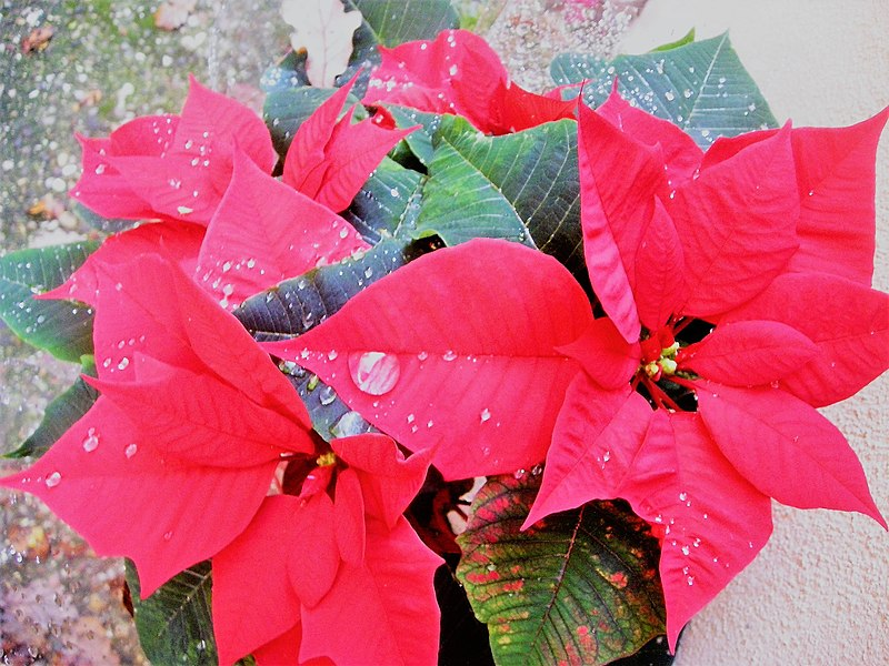 File:Poinsettia, the Christmas star, a plant donated in this period.jpg