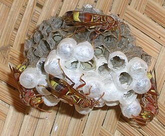 Polistinae - Nest of a Polistes sp.
