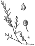 Polygonum bellardii BB-1913.png