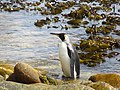 Pondering the situation King Penguin Falkland Islands.jpg