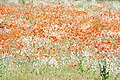 Poppies in field (Unsplash).jpg