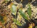 Potamogeton nodosus sl45.jpg