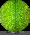 Potamogeton nodosus sl61.jpg