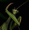 Praying Mantis Male European-18 cutted.jpg
