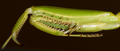 Praying mantis foreleg.png
