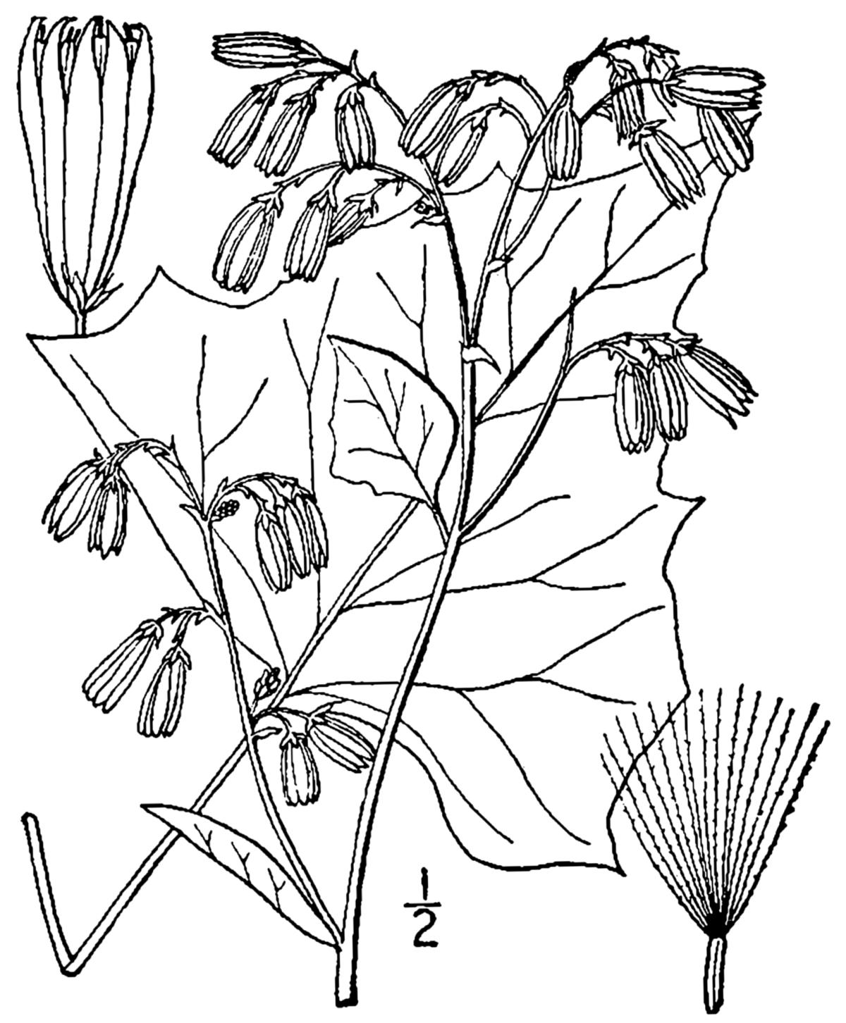 nabalus albus