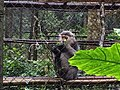 Primate - Endangered Primate Rescue Center, Cuc Phuong National Park (37610607266).jpg