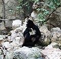 Primates - Ateles geoffroyi - 2.jpg