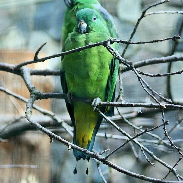 Ficheiro:Prioniturus mada -captive-8a-2c.jpg