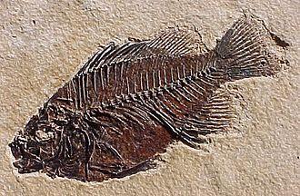 Macrofossil - Image: Priscacara liops