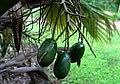 Pritchardia martii (5250171454).jpg