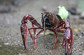 Écrevisse de Louisiane. Procambarus clarkii fcf5a949ad0