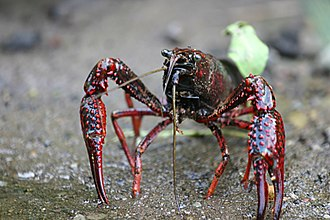 Crayfish as food - Procambarus clarkii