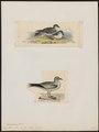 Procellaria furcata - 1700-1880 - Print - Iconographia Zoologica - Special Collections University of Amsterdam - UBA01 IZ17900068.tif