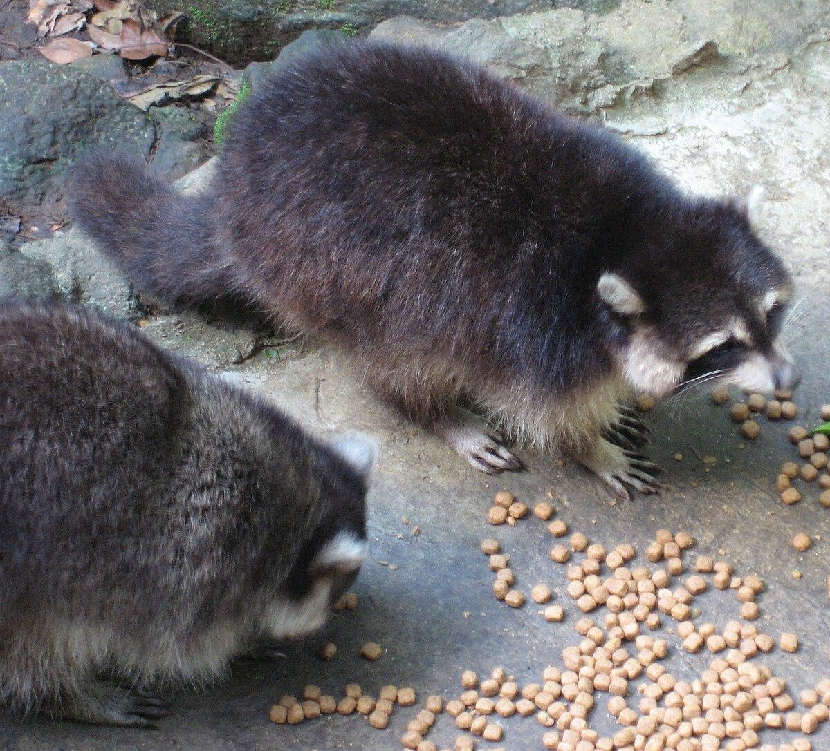 guadeloupe raccoon wikipedia