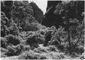 Profusion of Wild Grape in upper canyon above Temple of Sinawava, Narrow Trail. - NARA - 520488.tif