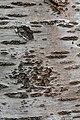 Prunus cerasus Montmorency tree bark 9.jpg