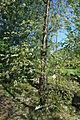 Prunus pensylvanica tree.jpg