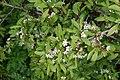Prunus spinosa - Slåpe.jpg