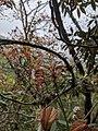 Prunus transarisanensis 65927304.jpg