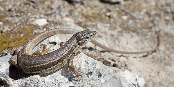 Large Psammodromus (Psammodromus algirus) in the Community of Madrid, Spain.