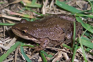 Boreal chorus frog species of amphibian